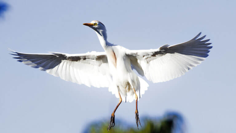 White, large bird with spread wings, hanging in the air